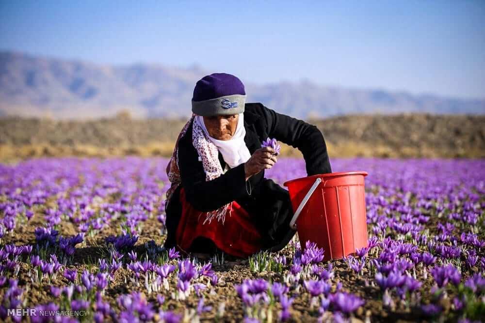 IRANIAN SAFFRON OR PERSIAN SAFFRON