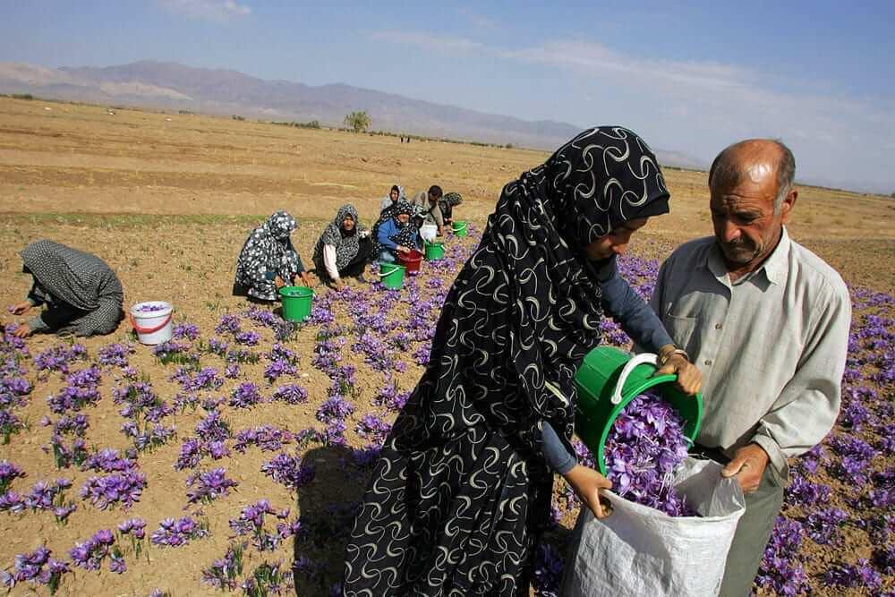 Harvest Persian Iranian Saffron